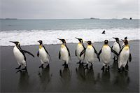 King Penguins on Beach, South Georgia Island, Antarctica Stock Photo - Premium Royalty-Freenull, Code: 600-03083943