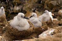Black-browed Albatross Chicks, Falkland Islands                                                                                                                                                          Stock Photo - Premium Rights-Managednull, Code: 700-03083906