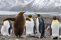 King Penguins, South Georgia Island, Antarctica                                                                                                                                                          Stock Photo - Premium Rights-Managednull, Code: 700-03083912