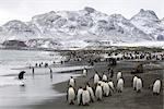 King Penguins, South Georgia Island, Antarctica                                                                                                                                                          Stock Photo - Premium Rights-Managed, Artist: Jamie Scarrow            , Code: 700-03083916
