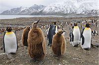 King Penguins, South Georgia Island, Antarctica                                                                                                                                                          Stock Photo - Premium Rights-Managednull, Code: 700-03083918