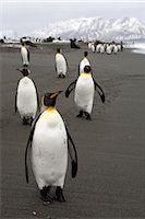King Penguins, South Georgia Island, Antarctica                                                                                                                                                          Stock Photo - Premium Rights-Managednull, Code: 700-03083920