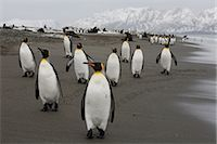 King Penguins, South Georgia Island, Antarctica                                                                                                                                                          Stock Photo - Premium Rights-Managednull, Code: 700-03083921
