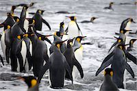 King Penguins in Surf, South Georgia Island, Antarctica                                                                                                                                                  Stock Photo - Premium Rights-Managednull, Code: 700-03083926