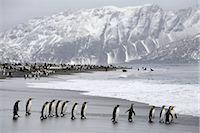 King Penguins on Beach, South Georgia Island, Antarctica                                                                                                                                                 Stock Photo - Premium Rights-Managednull, Code: 700-03083928