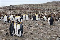 King Penguins, South Georgia Island, Antarctica                                                                                                                                                          Stock Photo - Premium Rights-Managednull, Code: 700-03083936