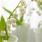 Lilies of the valley,close up Stock Photo - Premium Royalty-Free, Artist: Beanstock Images, Code: 689-03124002