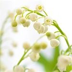 Lilies of the valley,close up Stock Photo - Premium Royalty-Freenull, Code: 689-03124006