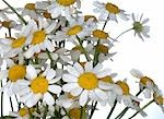 Marguerites Stock Photo - Premium Royalty-Freenull, Code: 689-03130079