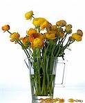 Ranunculus in a glass pitcher Stock Photo - Premium Royalty-Freenull, Code: 689-03130125