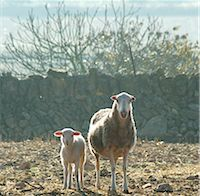 Sheep with lamb in the field Stock Photo - Premium Royalty-Freenull, Code: 689-03131184