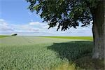 Lime Tree and Corn Field, Alzey, Alzey-Worms, Rhineland-Palatinate, Germany Stock Photo - Premium Royalty-Free, Artist: Raimund Linke            , Code: 600-03152781