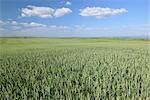 Corn Field, Alzey, Alzey-Worms, Rhineland-Palatinate, Germany Stock Photo - Premium Royalty-Free, Artist: Raimund Linke            , Code: 600-03152793