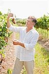 Wine Maker Examining Grapes Stock Photo - Premium Royalty-Free, Artist: Hiep Vu                  , Code: 600-03152986
