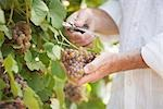 Wine Maker Cutting a Bunch of Grapes off the Vine Stock Photo - Premium Royalty-Free, Artist: Hiep Vu                  , Code: 600-03152991