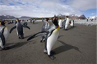 King Penguin, South Georgia Island, Antarctica Stock Photo - Premium Rights-Managednull, Code: 700-03161703