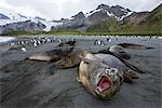 Southern Elephant Seals, South Georgia Island, Antarctica Stock Photo - Premium Rights-Managed, Artist: Jamie Scarrow, Code: 700-03161704