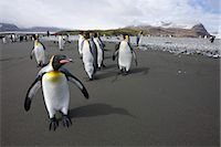 King penguins, South Georgia Island, Antarctica Stock Photo - Premium Rights-Managednull, Code: 700-03161708