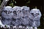 4 YOUNG EASTERN SCREECH OWLS Otis asio PENNSYLVANIA Stock Photo - Premium Rights-Managed, Artist: ClassicStock, Code: 846-03163817