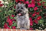 CAIRN TERRIER STANDING ON BRICK LEDGE Stock Photo - Premium Rights-Managed, Artist: ClassicStock, Code: 846-03164169