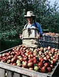 YOUNG MAN HARVESTING JONATHAN APPLES MISSOURI