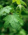 PALMATE SWEET GUM LEAVES AND DEW Stock Photo - Premium Rights-Managed, Artist: ClassicStock, Code: 846-03166122