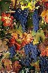 WINE GRAPES ON VINE NAPA VALLEY, CA