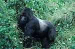 MOUNTAIN GORILLA SILVERBACK RWANDA, AFRICA Stock Photo - Premium Rights-Managed, Artist: ClassicStock, Code: 846-03166321