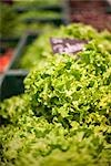 Close-up of Lettuce Stock Photo - Premium Royalty-Free, Artist: Holger Hill, Code: 600-03178790