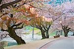 Lanterns in Cherry Trees, Iwakuni, Yamaguchi Prefecture, Chugoku, Japan