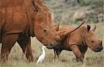 White Rhinoceros, Ceratotherium simum with calf and egret, South Africa Stock Photo - Premium Royalty-Free, Artist: Robert Harding Images, Code: 682-03188165