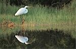 Great White Egret (Egretta alba) and reflection, Zimbabwe Stock Photo - Premium Royalty-Free, Artist: Gail Mooney, Code: 682-03188183