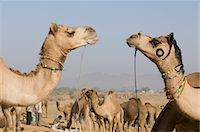 rajasthan camel - Herd of camels in a fair, Pushkar Camel Fair, Pushkar, Rajasthan, India Stock Photo - Premium Rights-Managednull, Code: 857-03192463
