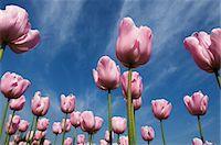 Pink tulips in a garden, Indira Gandhi Tulip Garden, Srinagar, Jammu And Kashmir, India Stock Photo - Premium Rights-Managednull, Code: 857-03193122