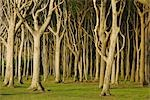 Beech Trees, Nienhagen, Bad Doberan, Western Pomerania, Mecklenburg-Vorpommern, Germany Stock Photo - Premium Royalty-Free, Artist: Raimund Linke, Code: 600-03194836