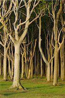 Beech Trees, Nienhagen, Bad Doberan, Western Pomerania, Mecklenburg-Vorpommern, Germany Stock Photo - Premium Royalty-Freenull, Code: 600-03194837