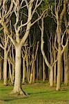 Beech Trees, Nienhagen, Bad Doberan, Western Pomerania, Mecklenburg-Vorpommern, Germany Stock Photo - Premium Royalty-Free, Artist: Raimund Linke, Code: 600-03194837