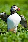 Atlantic Puffin, Farne Islands, Northumberland, England Stock Photo - Premium Royalty-Free, Artist: Jason Friend, Code: 600-03194974