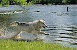 Gray Wolf Running through Water, Minnesota, USA