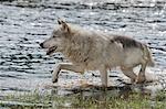 Gray Wolf in Water, Minnesota, USA