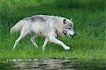 Gray Wolf, Minnesota, USA