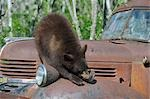 Black Bear on Rusty Truck, Minnesota, USA