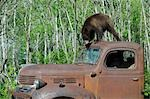 Black Bear on Top of Old Truck, Minnesota, USA