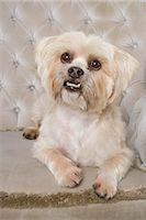 Portrait of Shi Tzu Tibetan Terrier Mix Stock Photo - Premium Rights-Managed, Artist: Ursula Klawitter, Code: 700-03229768