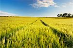 Wheat Field, Dumfries & Galloway, Scotland Stock Photo - Premium Rights-Managed, Artist: Tim Hurst, Code: 700-03230042