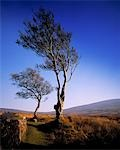 Hawthorn Trees in Sally Gap, County Wicklow, Republic Of Ireland Stock Photo - Premium Rights-Managed, Artist: IIC, Code: 832-03232103