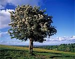 Hawthorn tree on a landscape, Ireland Stock Photo - Premium Rights-Managed, Artist: IIC, Code: 832-03232237