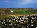 Inishowen Peninsula, Co Donegal, Ireland; Bog Cotton with a cottage in the distance Stock Photo - Premium Rights-Managed, Artist: IIC, Code: 832-03232490
