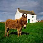 Cottage And Donkey, Tory Island Stock Photo - Premium Rights-Managed, Artist: IIC, Code: 832-03232727