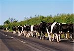 Friesian cattle;  Cows returning from milking Stock Photo - Premium Rights-Managed, Artist: IIC, Code: 832-03232780